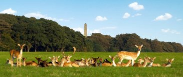 phoenix park dublin with deer