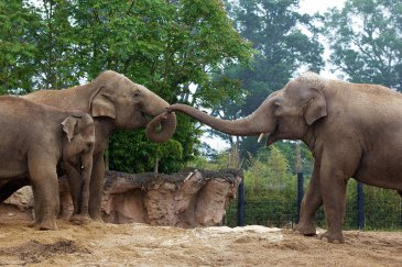 Family of Elephants at Dublin Zoo