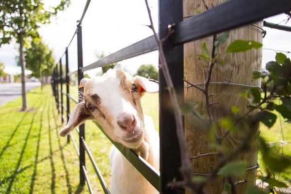 goat at airfield farm