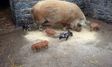 Pig and piglets at Newbridge House and Farm